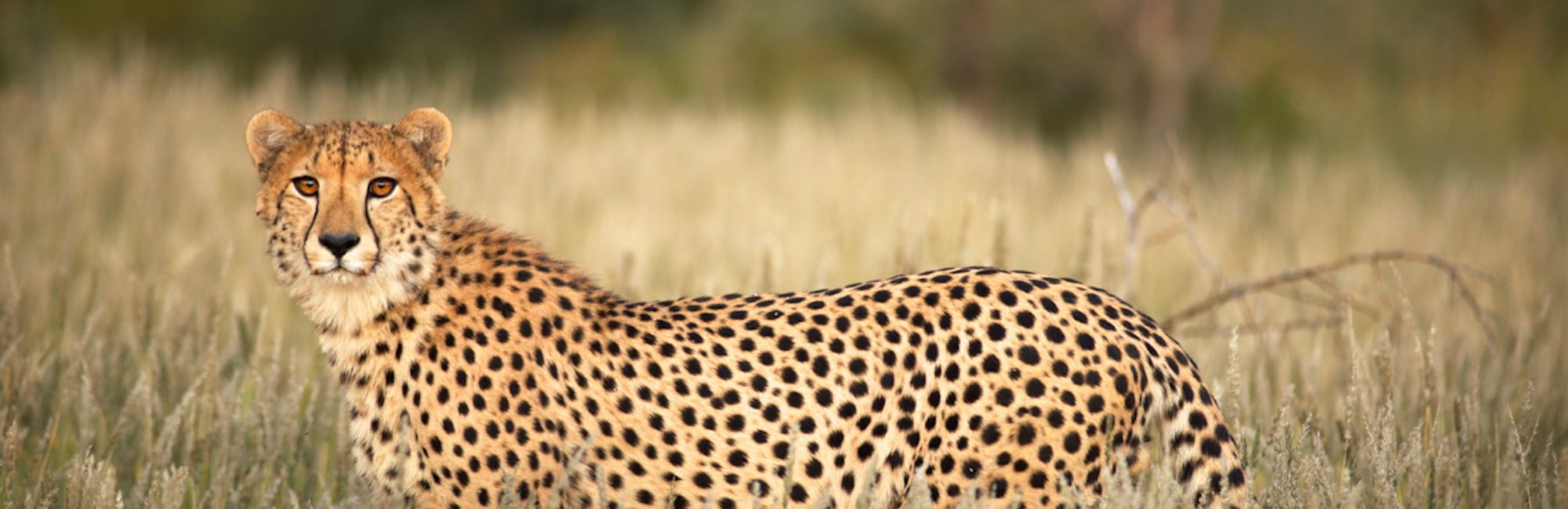 Cheetah Tswalu