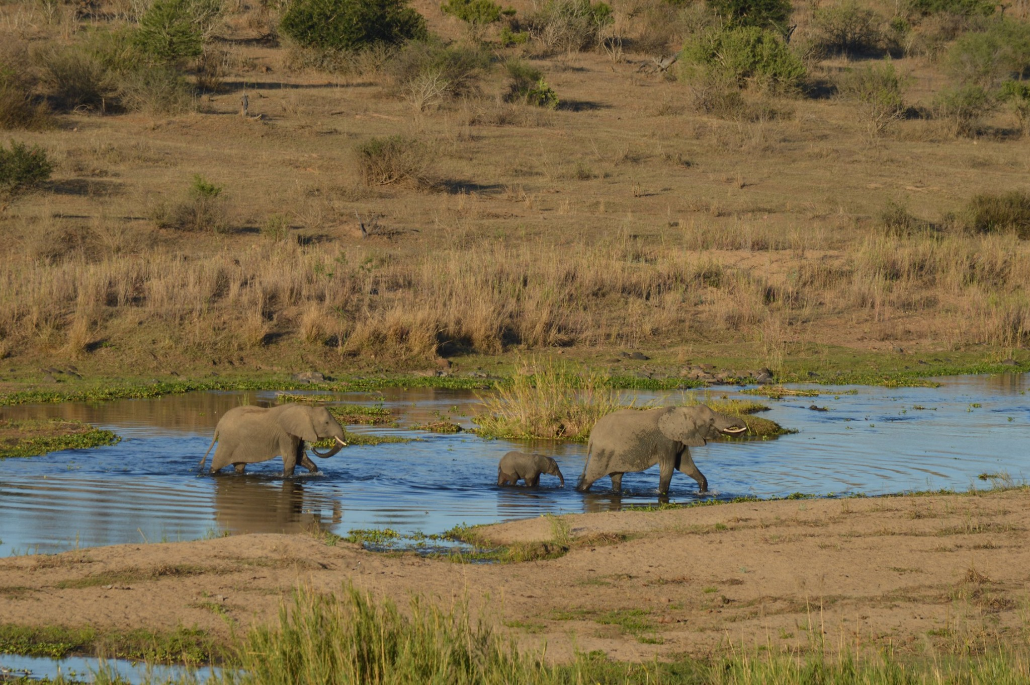 Elephants crossing the river seen from Bucklers Africa Lodge